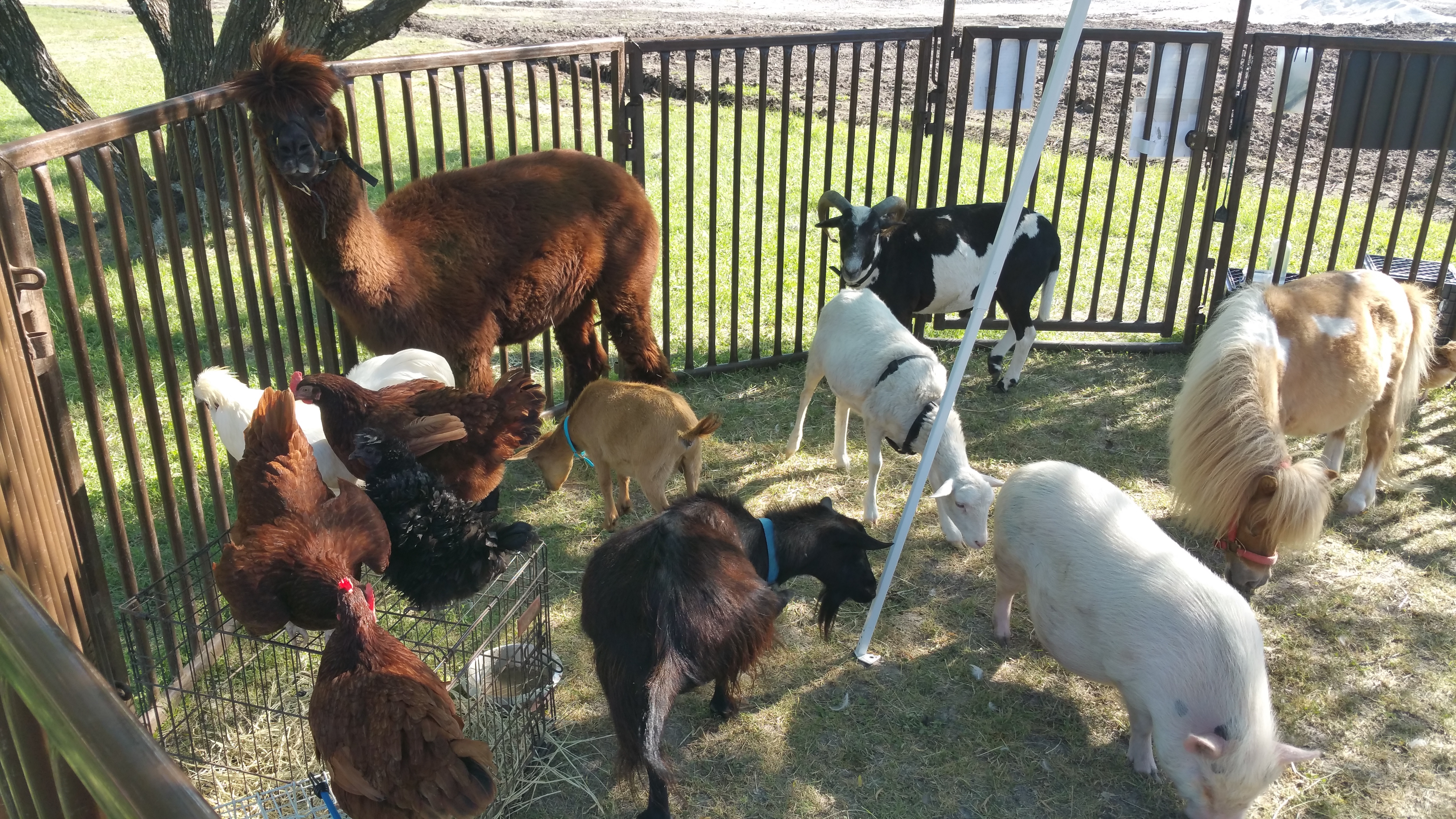 Morningstar Ranch Pony Parties and Petting Zoos